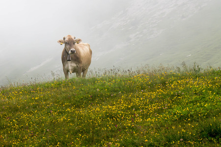 ruminate: Cow grazing in green mountains with fog