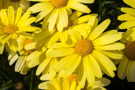 Arnica montana, European flowering plant used in herbal medicine 写真素材