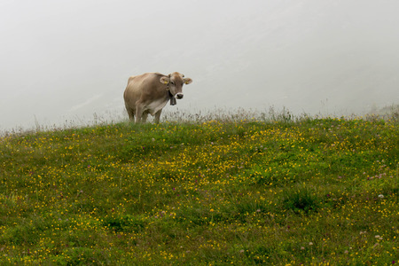 ruminate: Cows grazing in green mountains with fog