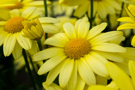 Arnica montana, European flowering plant used in herbal medicine photo