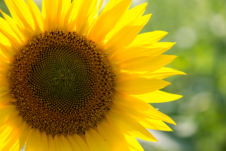 close-up of a beautiful sunflower in a field photo