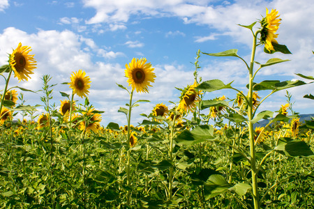 contryside: Sunflowers field in tuscan contryside in summer
