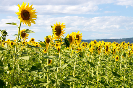 Sunflowers field in tuscan contryside in summer