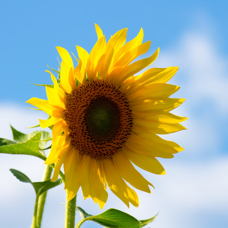close up of a sunflower in summer photo