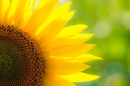 close-up of a beautiful sunflower in a field 写真素材