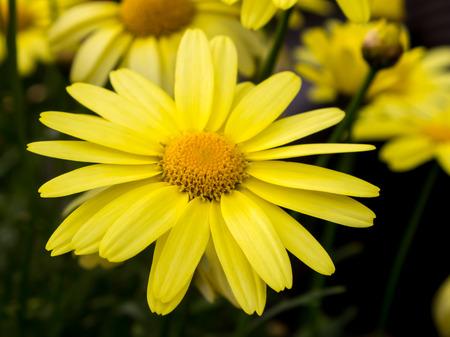Arnica montana, European flowering plant used in herbal medicine Stock Photo