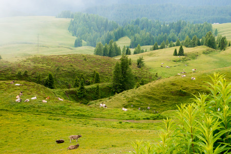 ruminate: herd of cattle grazing in the mountains Stock Photo