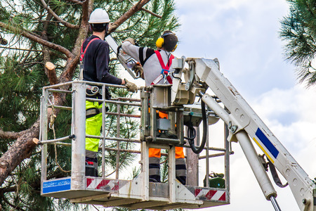 professional lumberjacks on an elevated work platform who cutting trunks on the top of a big tree with a chainsaw