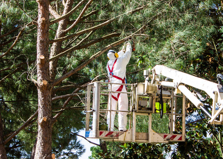 tree cutting: professional lumberjack on an elevated work platform who cutting trunks on the top of a big tree