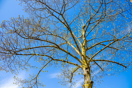 reborn: silhouette of a tree that is reborn in spring on background of blue sky
