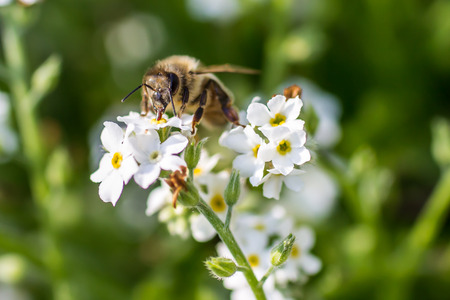 Close up of an European honey bee on a flower Stock Photo
