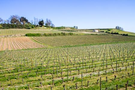 saint emilion: growth of a vineyard in the countryside of Saint Emilion, Bordeaux, France