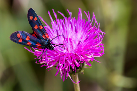 zygaena: close up of a moth six-spot burnet (Zygaena filipendulae) on a purple flower Stock Photo