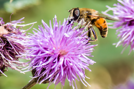 close up of honey bee on a purple flower