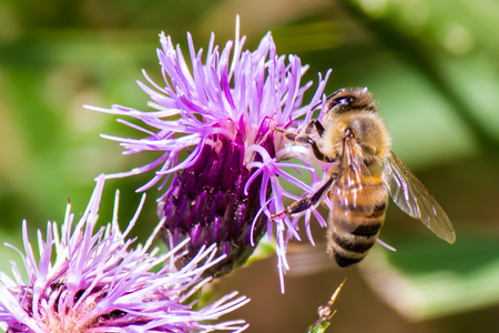 distributing: close up of honey bee on a purple flower