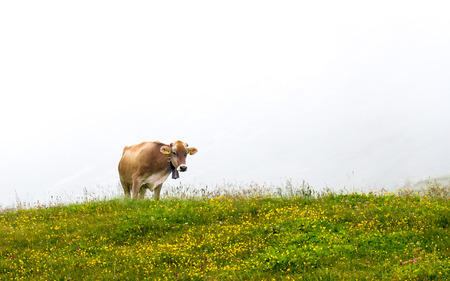 ruminate: Cow grazing, isolated with white fog