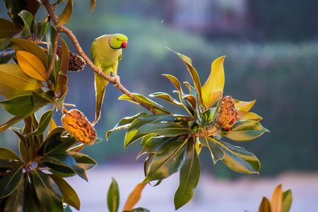 periquito: PSITTACULA KRAMERI en un árbol grande Foto de archivo