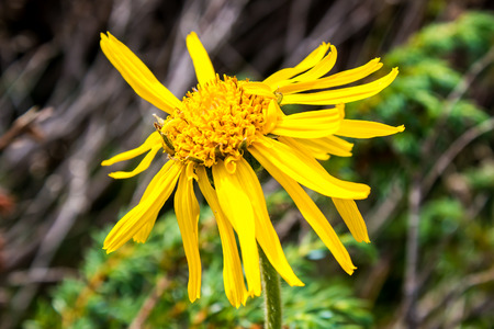 arnica: Close up of Arnica Montana flower in the dolomites