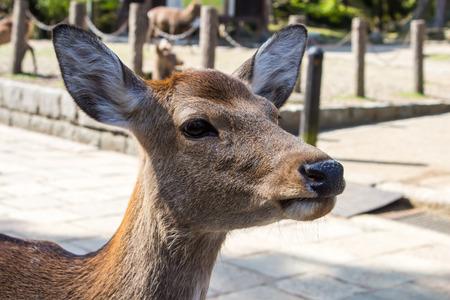 sika deer: Closeup of a wild Sika deer, (Cervus Nippon)