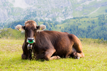 ruminate: Cow on a summer pasture in the Alps