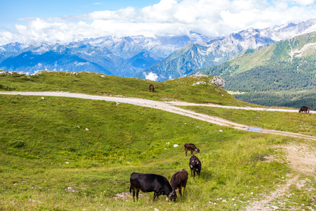 ruminate: Panoramic view of the Alps with a herd of cattle grazing.