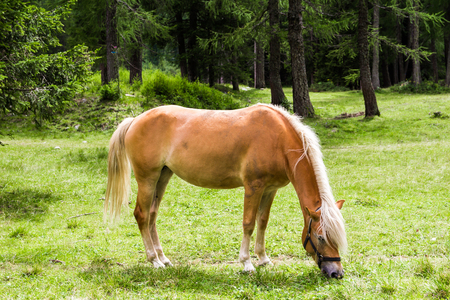 pastureland: The Haflinger, a breed of horse developed in the South Tyrol region Stock Photo