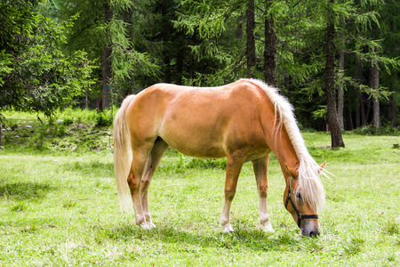 The Haflinger, a breed of horse developed in the South Tyrol region Stock Photo