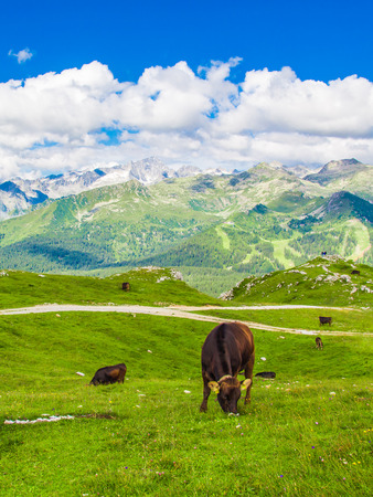 ruminate: Cows grazing in a meadow on the Alps