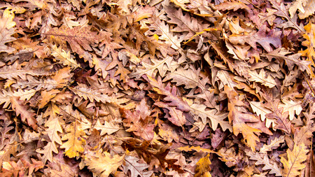 dry leaves: autumn colors, background of dry oak leaves, falls to the ground Stock Photo