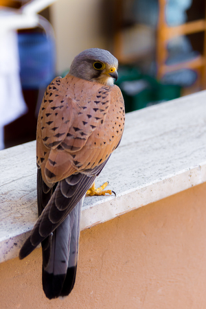 perched: Close up of a common kestrel perched on a parapet of an urban building