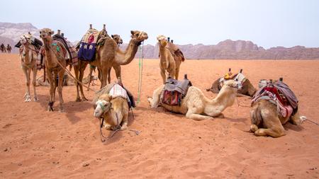 Some dromedaries , also called the Arabian camel, in the Wadi Rum desert Stock Photo