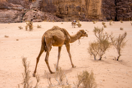 a dromedary , also called the Arabian camel, in the Wadi Rum desert Stock Photo