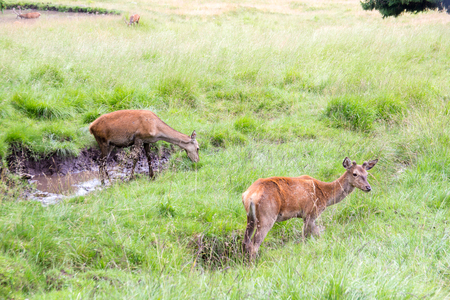 Two female red deer ( doe) in a natural park