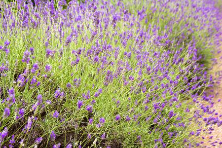 Closeup of lavander flowers in a field