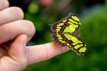 green and black butterfly resting on a finger