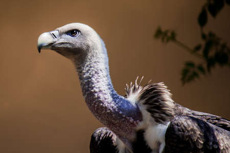 Portrait of a Ruppell's griffon vulture, a large raptors mainly native to the Sahel region and East Africa