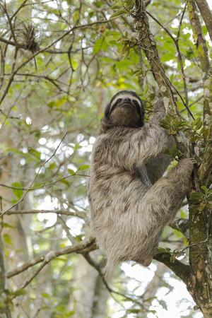 oso perezoso: La pereza en Costa Rica