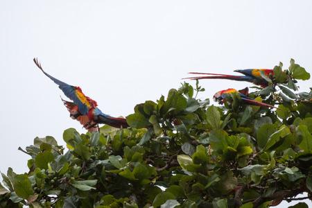 scarlet: Costa Rica scarlet macaw