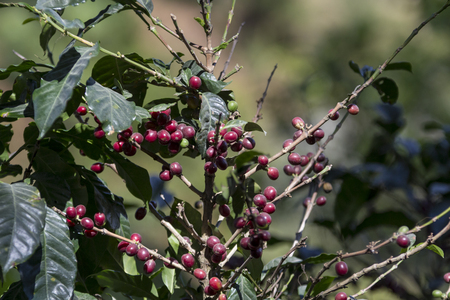 Costa Rica red and green coffee berries