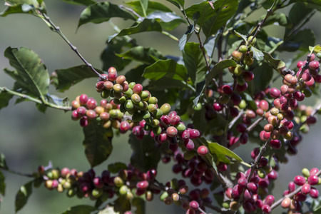 Costa Rica red and green coffee berries Stok Fotoğraf - 98903095
