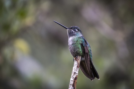 Birds of Costa Rica Green crowned brilliant