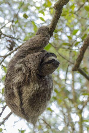 Paresseux à trois doigts au Costa Rica