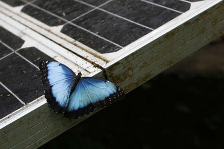 Blue morpho butterfly from Costa Rica perched on a solar panel in a forest environment. Clean energy production. Stock fotó