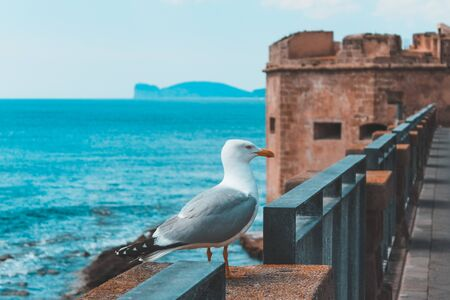 Seagull close up on the old ramparts in Alghero, Sardinia, Italy