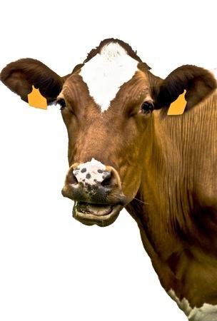 La leche de vaca en Asturias, Espa�a Foto de archivo
