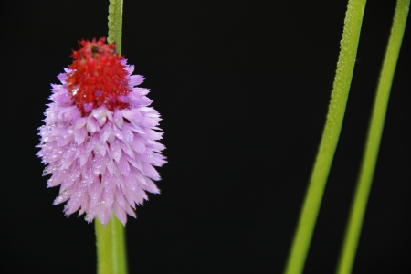 purple and red flower on black background Stock Photo - 15575316