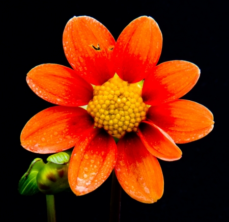 orange and yellow flower on black background Stock Photo - 15575306