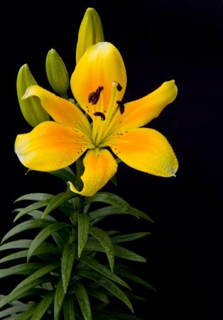 yellow flower on black background Stock Photo - 15575308