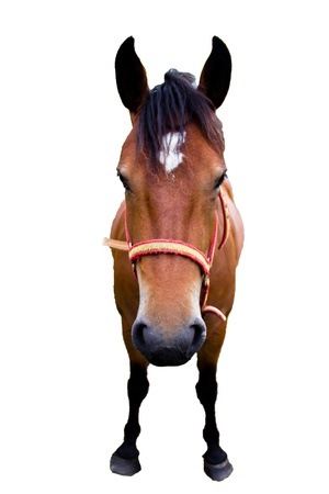 spanish horse isolated on white Stock Photo