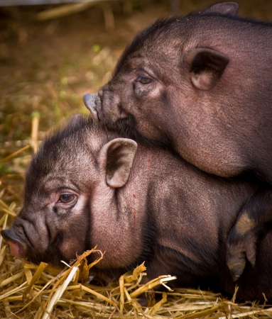 potbellied: couple of vietnamese pigs playing
